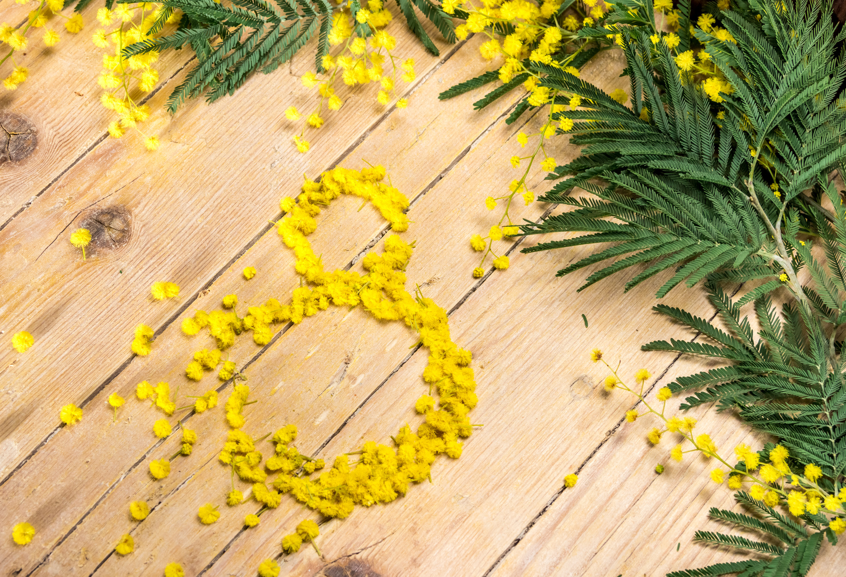 Mimosa in the International Women's Day on 8 March